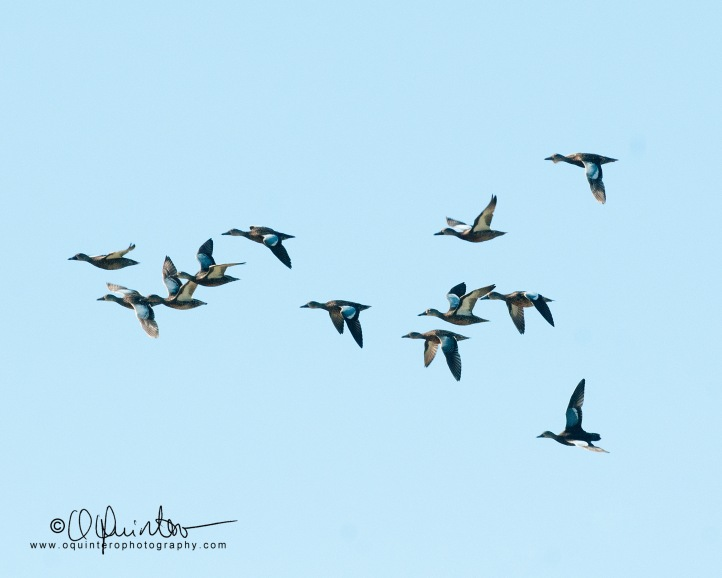 blue-winged-teal2-sg