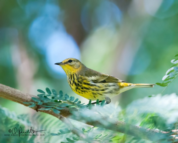 cape-may-warbler-h1-sg