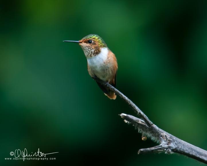 colibri-estrellita-centelleante-h2-sg