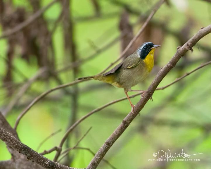 common-yellowthroat1-sg