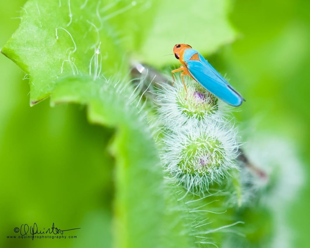 leafhopper1-sg