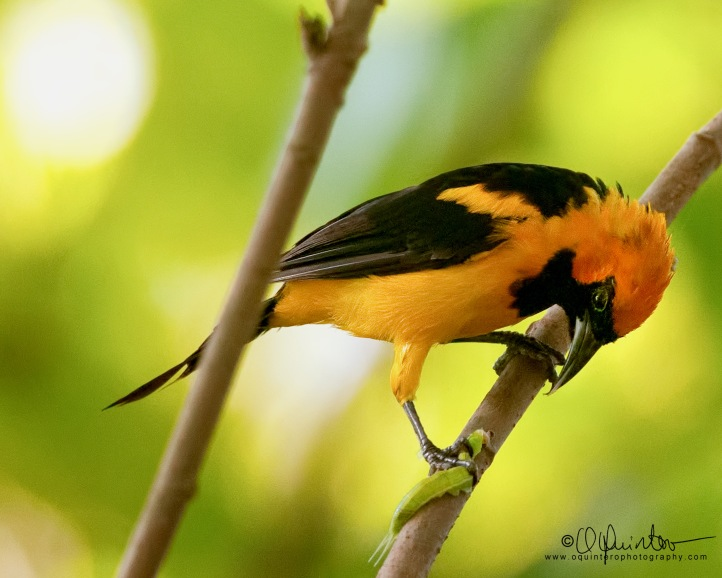 orange-crowned-oriole-2-sg