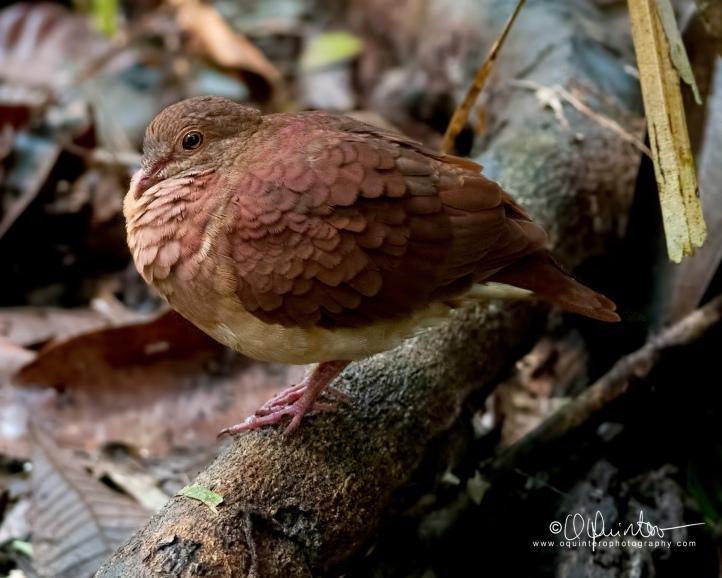 ruddy-quail-dove2-sg