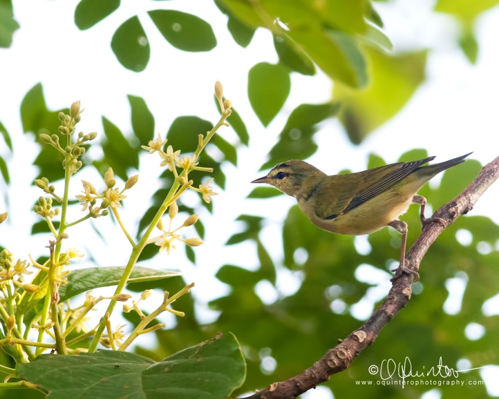 tennessee-warbler3-sg