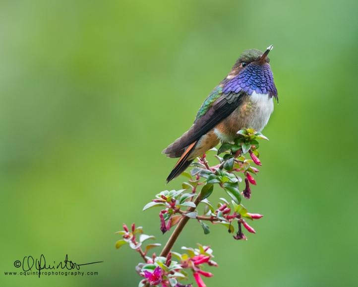 volcano-hummingbird-m4-sg