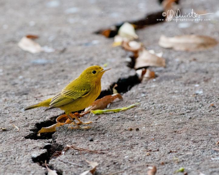 yellow-warbler-1-sg