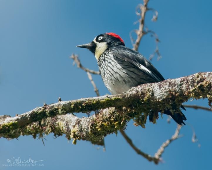 acorn-woodpecker3
