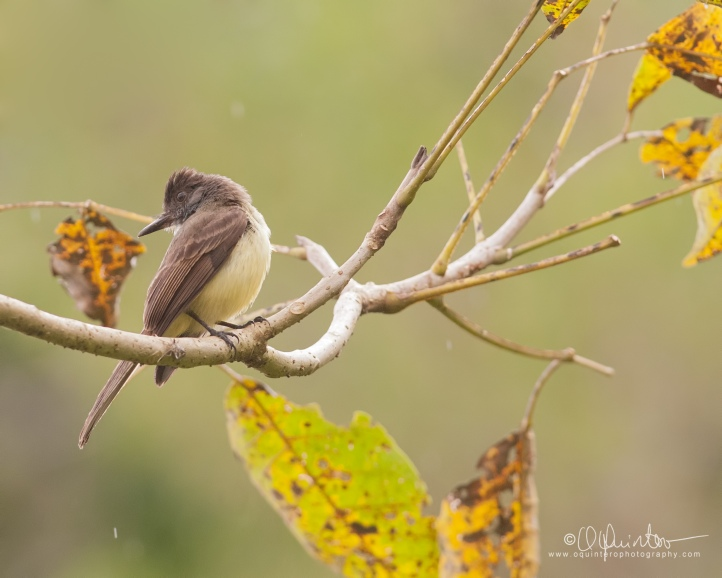 dusky-capped-flycatcher1