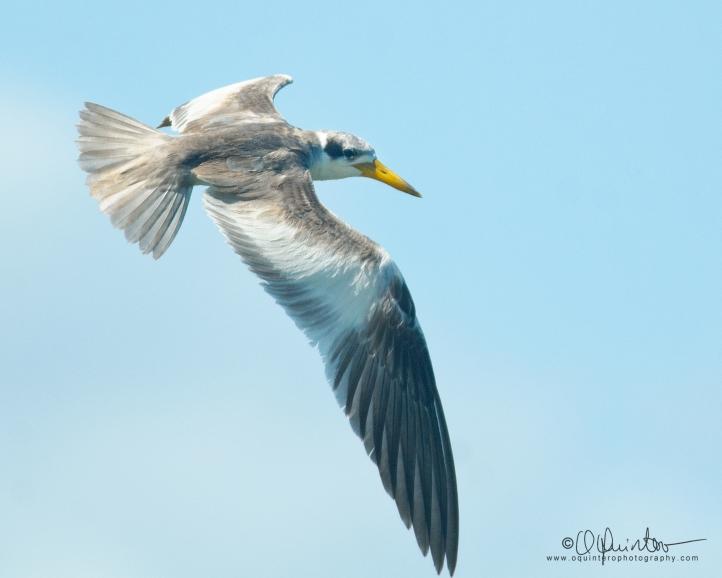 large-billed-tern4