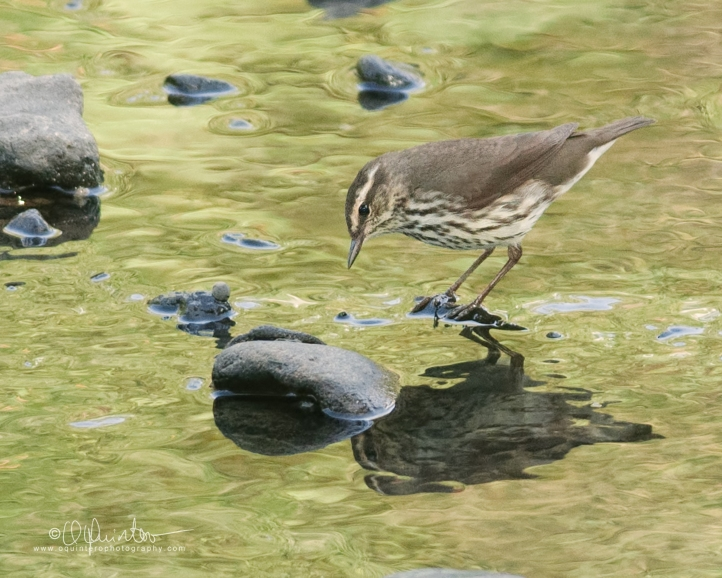 northern-waterthrush2
