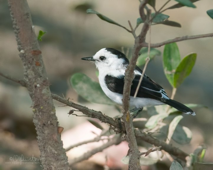 pied-water-tyrant1bfm