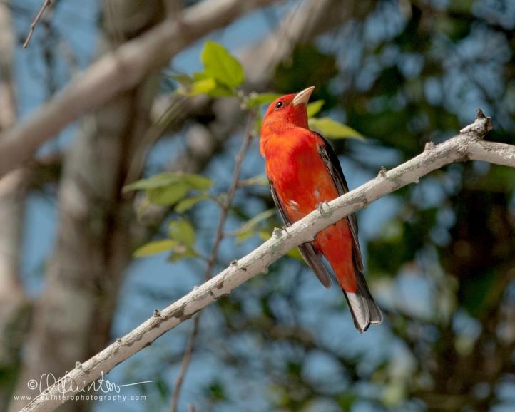 scarlet-tanager1