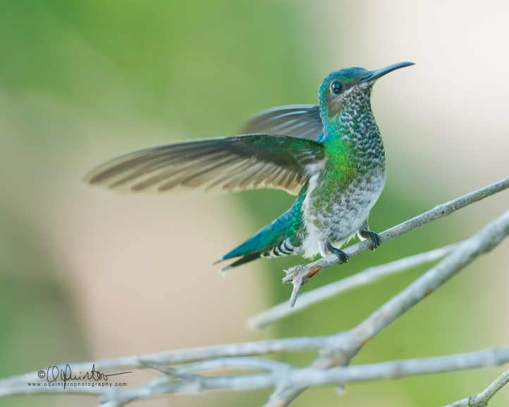 white-necked-jacobin-h1