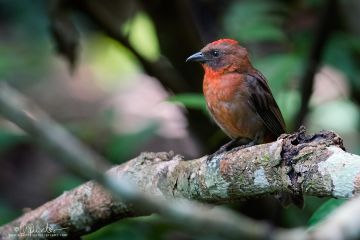 ant-tanager3