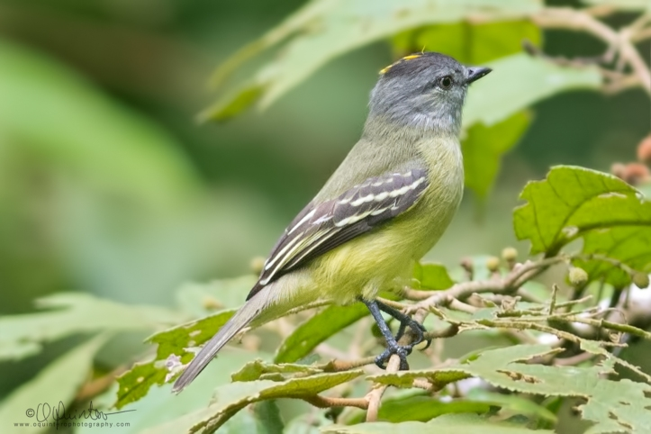 yellow-croned-tyrannulet1