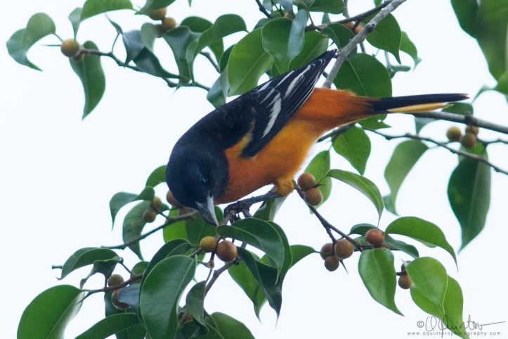 baltimore-oriole1