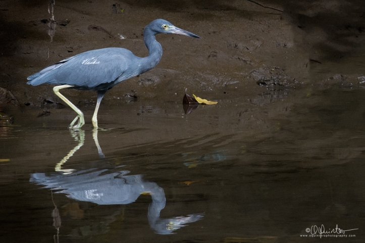 little-blue-heron1b-firm1