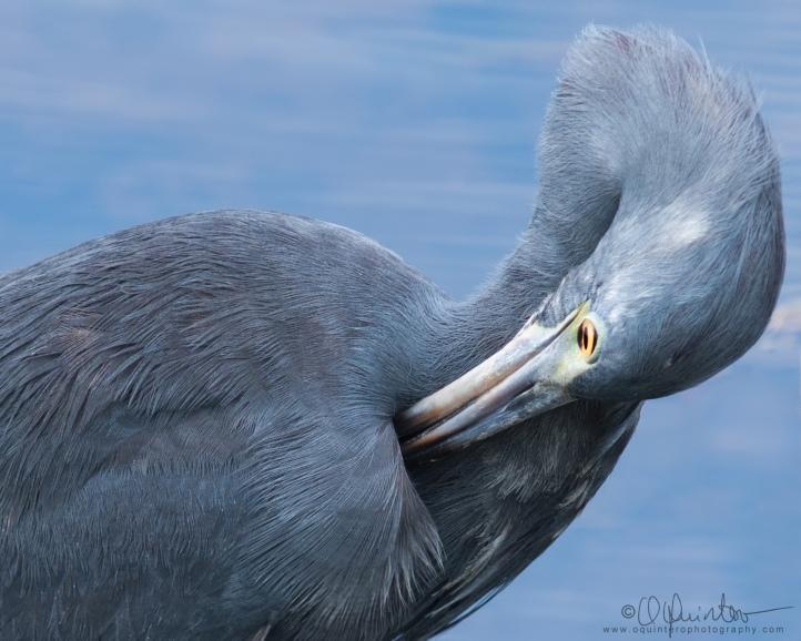 little-blue-heron9b