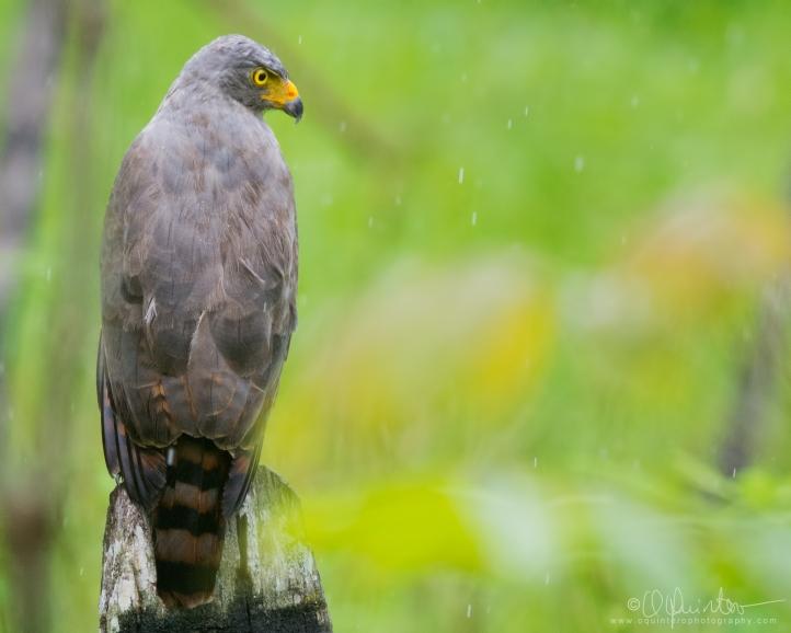 roadside-hawk1