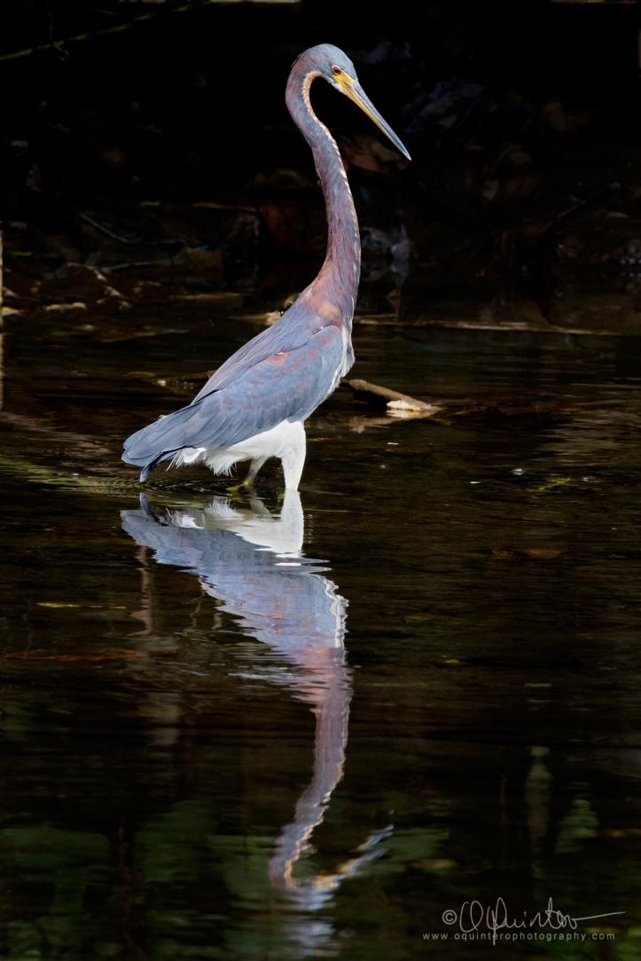 tri-colored-heron1