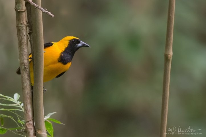 yellow-backed-oriole1