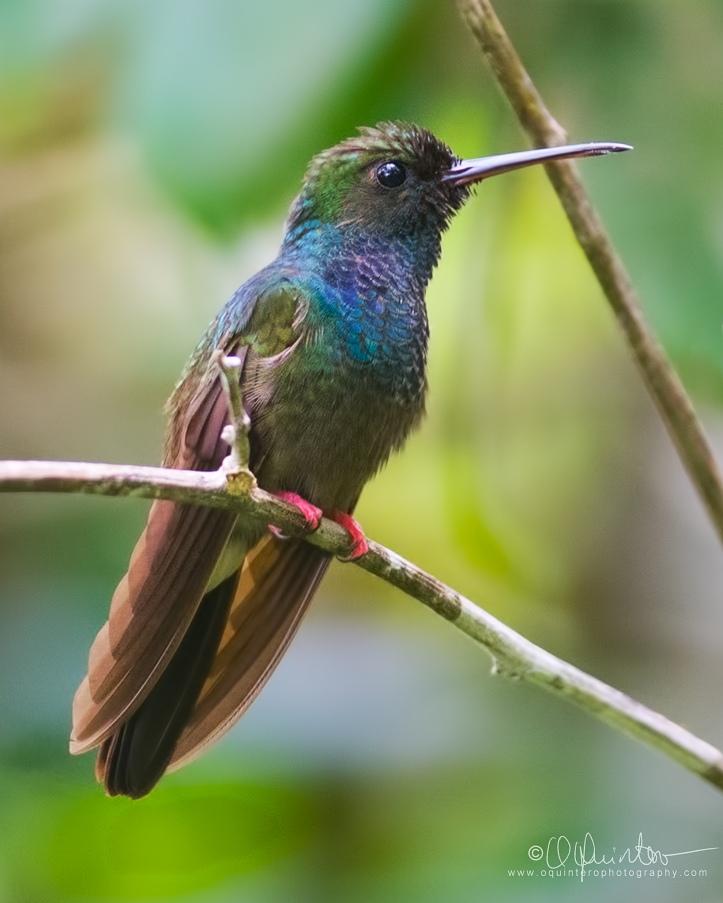 bronze-tailed-plumeleteer3c