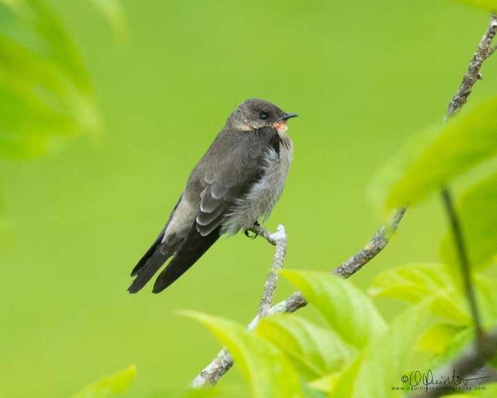 southern rough-winged swallow2