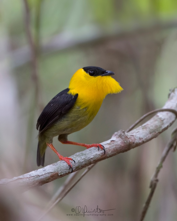 golden-collared-manakin1-ed1b